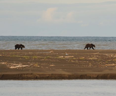 Man kann jederzeit auf Bären wie die gewaltigen Kodiacs treffen