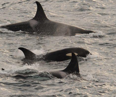 Eine Orca-Familie begleitet das Schiff