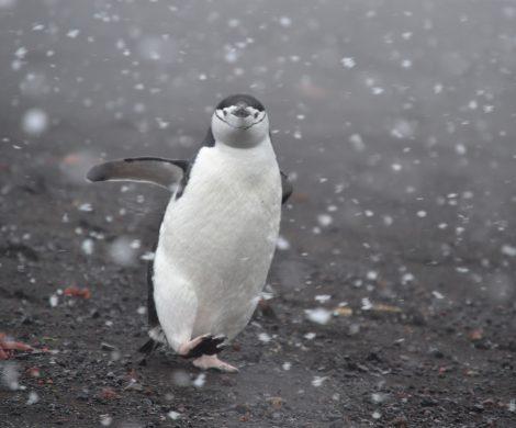 Gut fünf Meter Abstand soll der Mensch zu den Bewohnern der Antarktis halten. Wenn die das doch bloß auch wüssten!