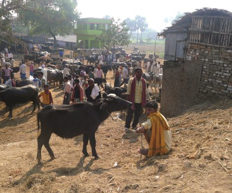 Heilige Kühe sind überall zu finden