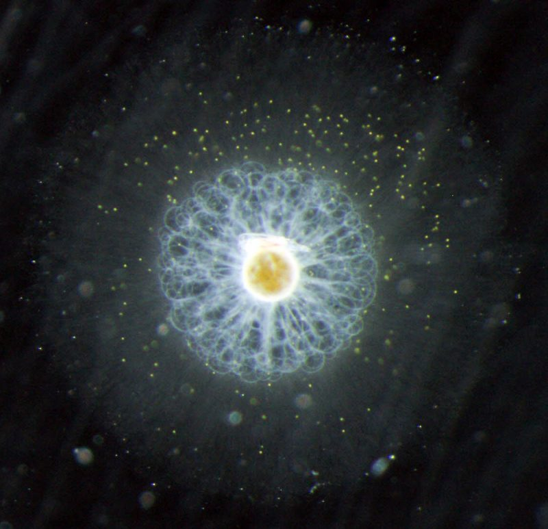 Als Laie kann am Computer der Meeresforschung beim Sortieren von Plankton helfen c Foto-Tristan_Biard