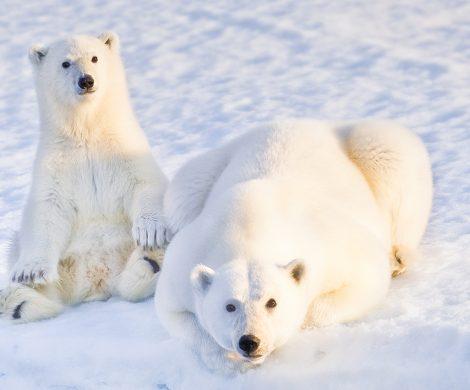 Bei der Durchquerung der Nordwest-Passage bekommt man mit großer Wahrscheinlichkeit auch Eisbären zu sehen