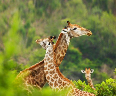 Auf der Weltreise der AIDA Aura geht es auch nach Afrika