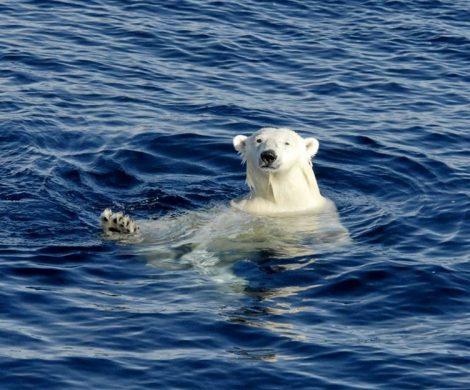 Eisbären lieben das Wasser
