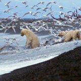 Zwischen 3.000 und 3.500 Eisbären leben auf und um Spitzbergen