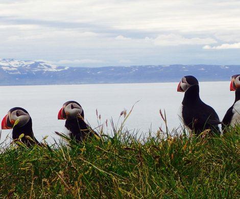 Kolonien von Papageientauchern können auf Vogelinseln und entlang der Küste an Klippen beobachtet werden