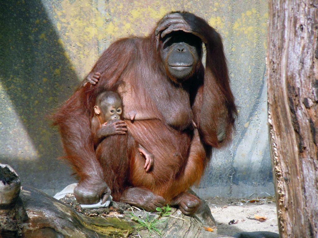 """AIDA hat eine der Preisträgerinnen des BILD DER FRAU-Preises """"Alltagsheldinnen"""", die Vereinsvorsitzende des Projekts """"Orang-Utans in Not e.V."""" vorgestellt. An Bord der AIDAprima bekam Julia Cissewski (45), ehrenamtliche Vereinsvorsitzende von """"Orang-Utans in Not e.V."""" einen Scheck in Höhe von 10.000 Euro überreicht."""