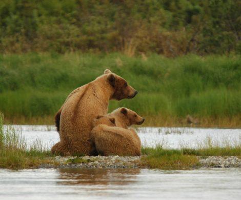 Grizzly mit Nachwuchs