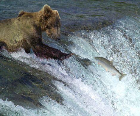 Grizzlys finden reichlich Nahrung