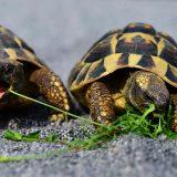 Die niederländische Fluggesellschaft KLM muss für eine Schildkrötenrettung knapp 500.000 Euro an Gebühren zahlen, weil die Tiere nicht artgerecht untergebracht waren.