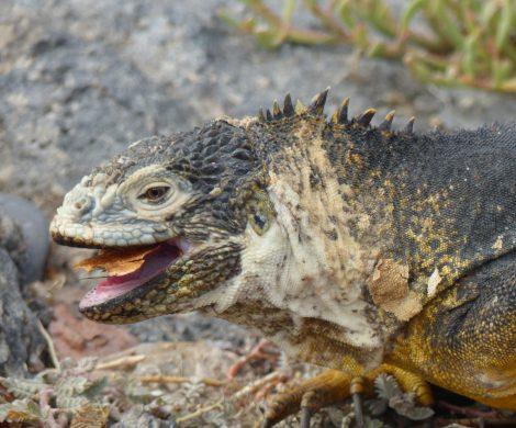 Ecuador hat den Notstand für Galápagos ausgerufen. Der berühmte Archipel ist von einem Schiffsunglück bedroht, bei dem Diesel auslief