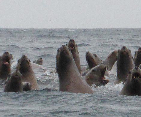 Kurilen: Ob Robben im Wasser oder