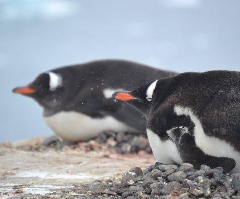 Schützend brüten Pinguine ihre Jungen aus – immer auf der Hut vor hungrigen Raubvögeln