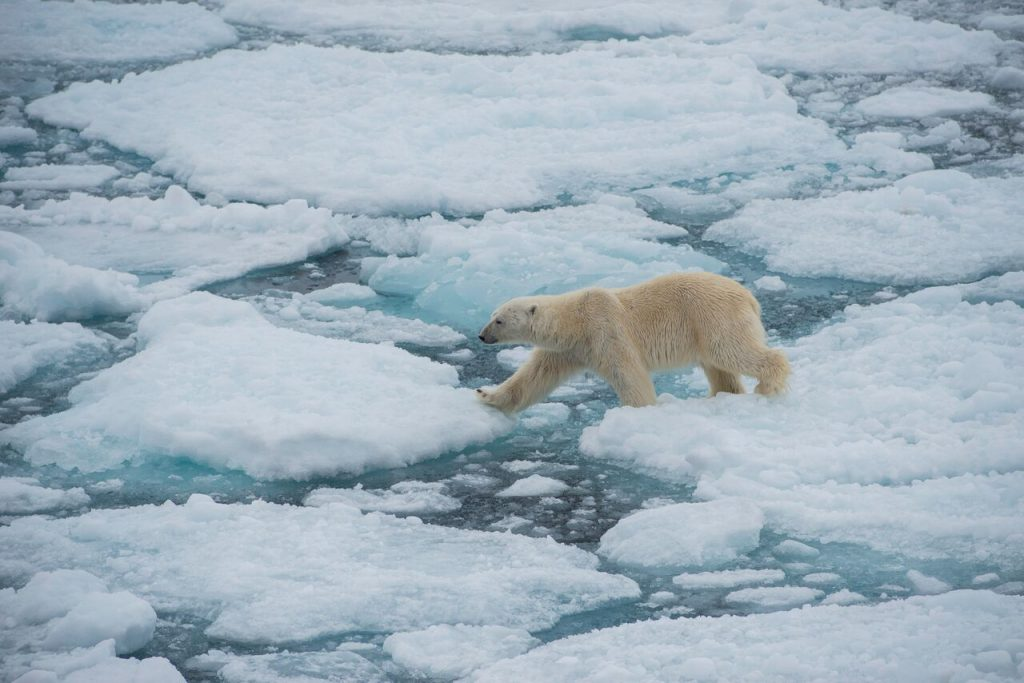 Eisbären bekommt man bei Expeditionen mit G Adventures gut vor die Kamera