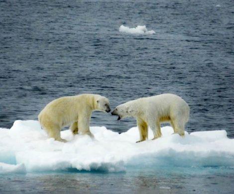 Ausgewachsene Eisbären sind Einzelgänger und nur selten trifft man mehrere Exemplare auf einmal