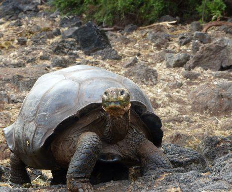 Schildkröte auf Santa Cruz
