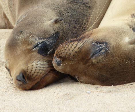 Seelöwen haben auf Galapagos keine Angst vor Menschen und spielen direkt vor einem am Strand