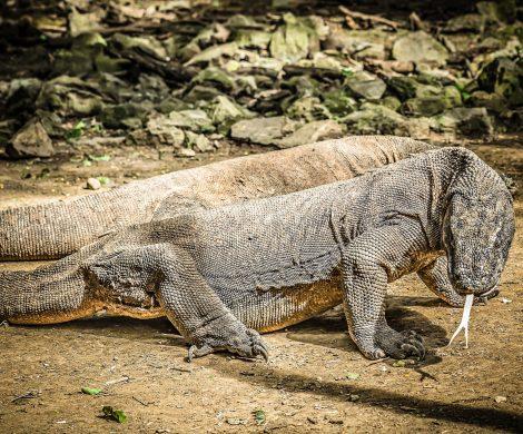 Indonesien will seine Dracheninsel Komodo ein Jahr lang schließen, um den dort lebenden Komodowaranen das ganze Jahr 2020 eine Ruhepause zu bieten.