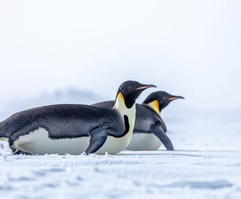 Auf der Jungfernfahrt der Scenic Eclipse in die Antarktis konnten Gäste eine Kolonie von Kaiserpinguinen sichten, die im antarktischen Weddel-Meer leben.